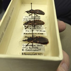 A box of one species of Assassin Bugs (Reduviidae)